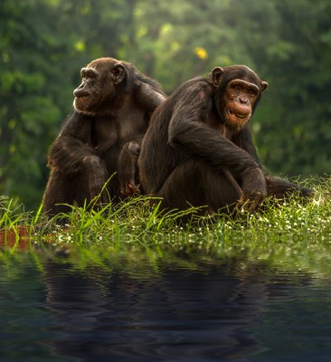 Stories & Music in the Sky Virtual Story Time - Mammals: Chimpanzees