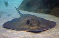 ShallowsStingRay