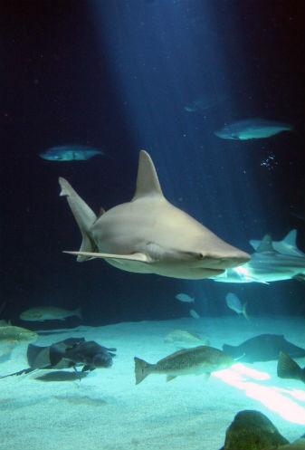 Shark Super Predators