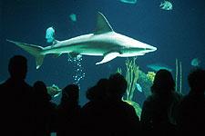Shark tank at the Aquarium