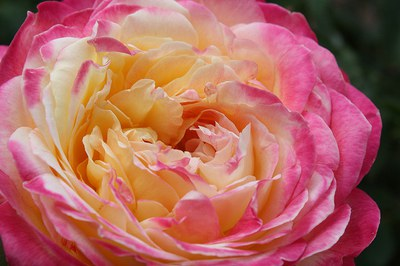 Fall Rose Bloom Exhibition - CANCELED