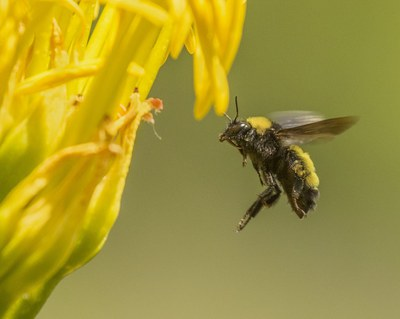 Supporting Native Bees in the City