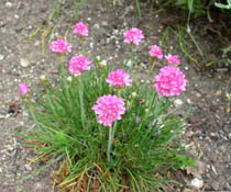 Armeria plant with bright purple flower heads