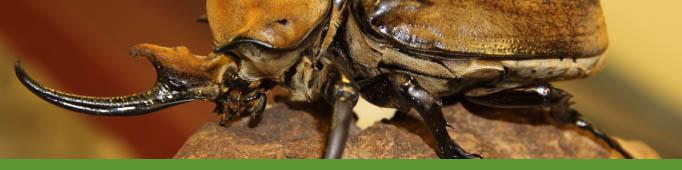 Elephant beetle banner