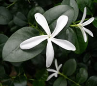 White star-shaped flower and glossy green leaves of natal plum