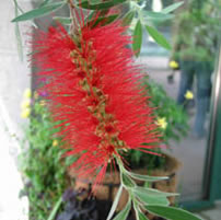 Bottlebrush tree, bright red flower