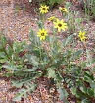 Chocolateflower1web.jpg