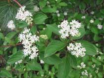 Dogwood plants