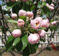 Rosy crabapple flowers