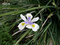 Peacock flower or fortnight lily