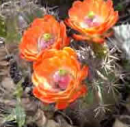 Orange-red flowers of spiny claret cup
