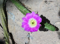 Echinocereuspentalophus2web.jpg