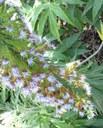 Echiumfastuosumweb2.jpg