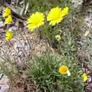 Yellow angelina daisy flowers