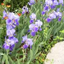 Irisweb.jpg