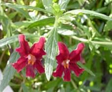 MimuluslongifolusMonkeyflowerweb_001.jpg