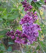 """Miss Kim"" deep purple lilacs"