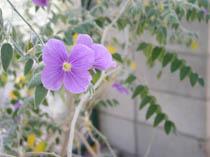 Morkillia with big purple flowers