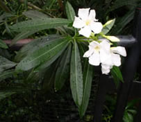 Oleander with white flowers