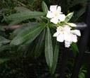 Oleanderweb.jpg