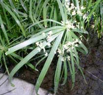 Papyrus with teeny tiny flowers
