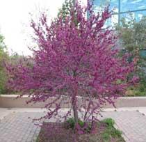 Purplish blooms of western redbud