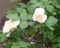 Cultivated roses