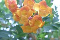 Tecomeria orange flowers
