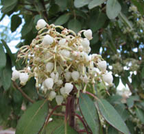Texas madrone white flowers