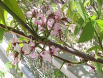 Closeup of Texas buckeye with pink flowers