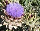 artichokeweb2_000.jpg
