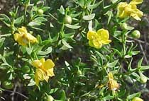 Creosote bush with yellow flowers