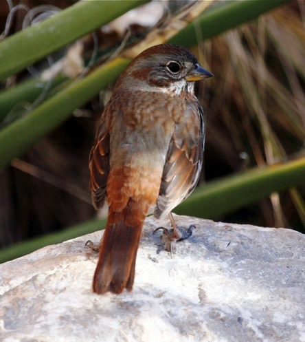 Fox Sparrow for Bird Watcher List. Photo courtesy of Cole Wolf.