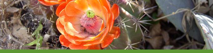 Orange cactus bloom
