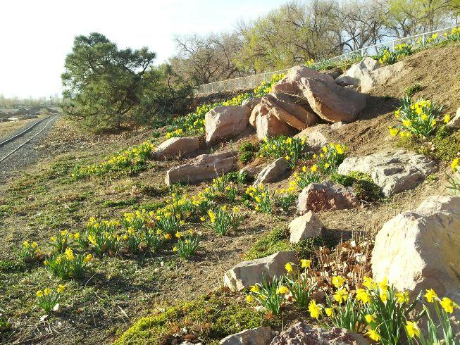 Daffodils at Tingley Beach