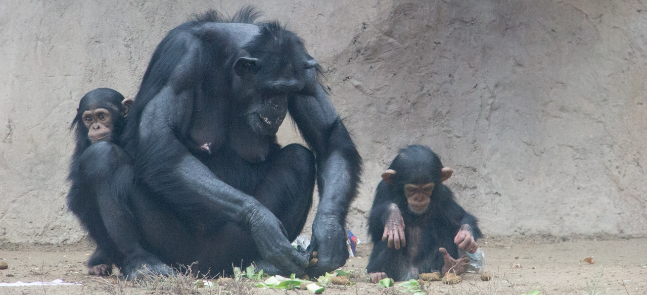 Elaine with Dezi and Rio Chimps 2015