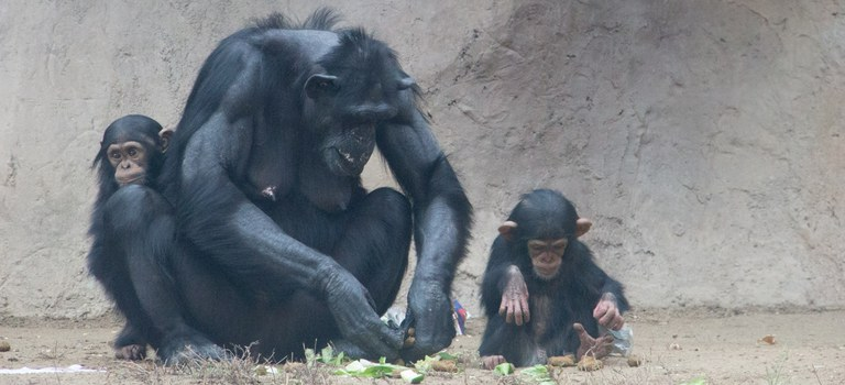 Elaine with Dezi and Rio Chimps
