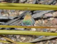 Callophrys mcfarlandi butterfly