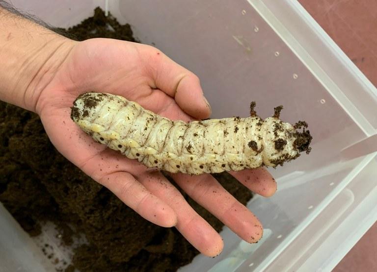 Goliath Beetle Larva spring 2020