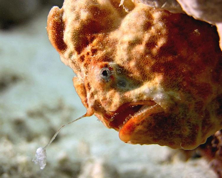 Longlure Frogfish Wikimedia Commons