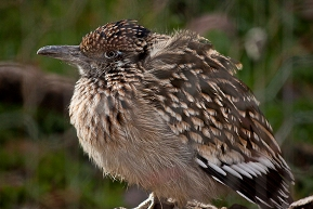 A roadrunner at the ABQ BioPark Zoo.