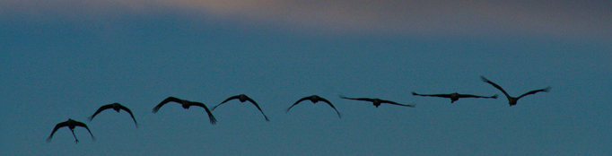 Birds flying at dusk