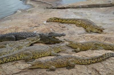 caption:Crocs in Zoo d'Abidjan. Photo by Matt Eschenbrenner.