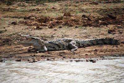 caption:Crocodylus suchus by CIFOR/Flickr