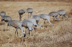 Sandhill Cranes at the ABQ BioPark Botanic Garden.