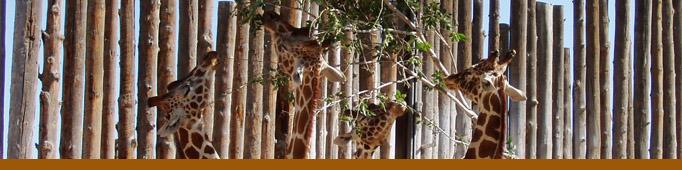 GiraffeBanner