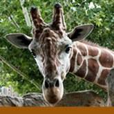 Giraffe Banner Small