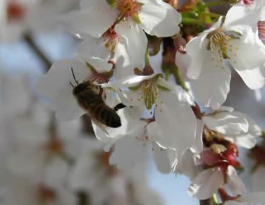 Bee on flower at Japanese Garden