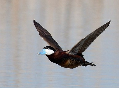 Male Ruddy Duck by Neil Mishler/USFWS
