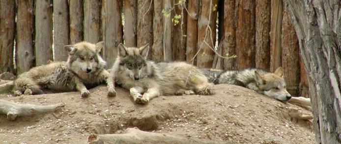WolvesonDen-JohnLundy.JPG